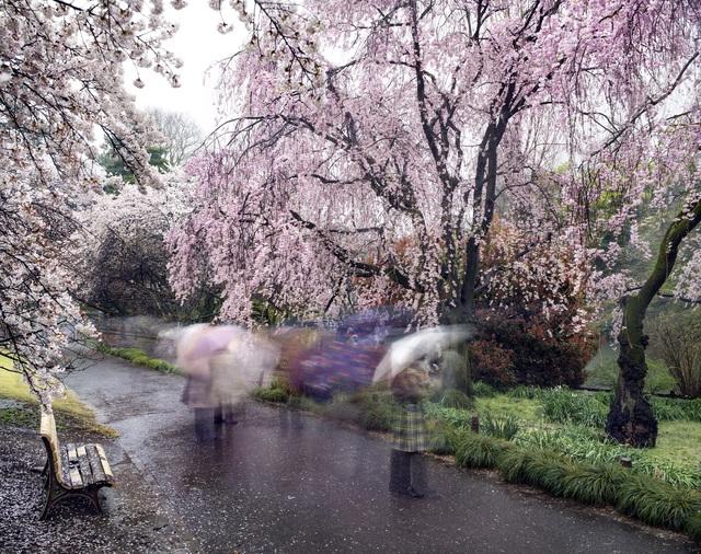 Matthew Pillsbury, 'Hanami#18,ShinjukuGyoen,ThursdayApril3rd,2014', 2014, Aperture Foundation Benefit Auction