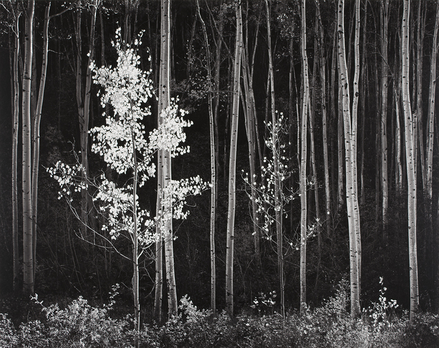 , 'Aspens, Northern New Mexico,' 1958, The Ansel Adams Gallery