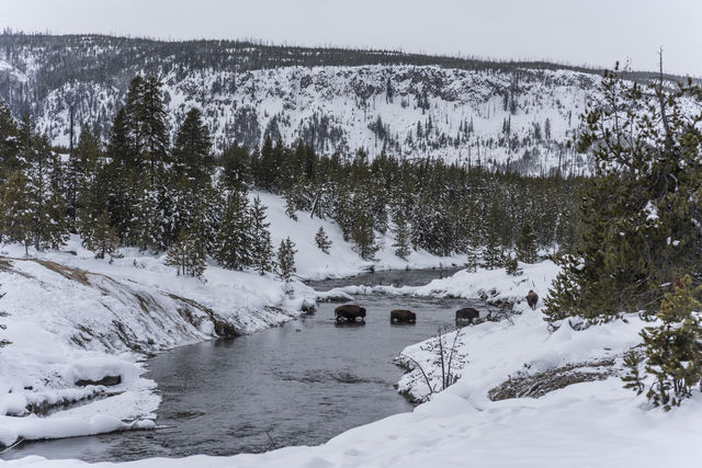 , 'Bison Crossing Firehole River,' 2017, Gallery NAGA