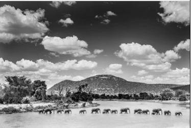 Elephants Crossing Ewaso Nyiro River Samburu, Kenya, 2014 by Frank af Petersens