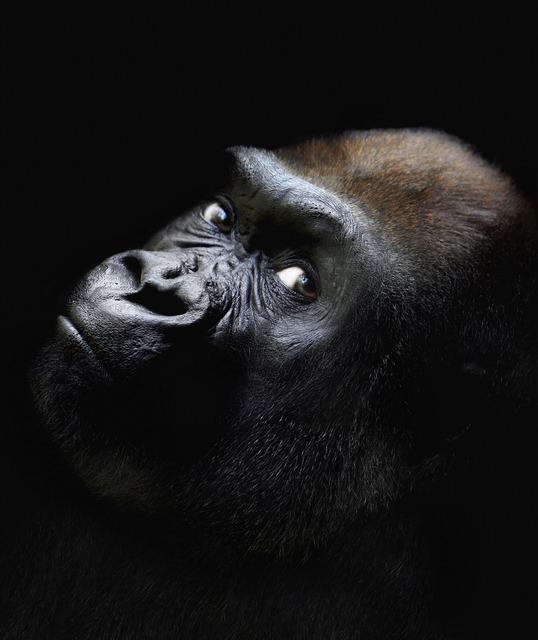 , 'Gorilla Looking,' 2008, Ricco/Maresca Gallery