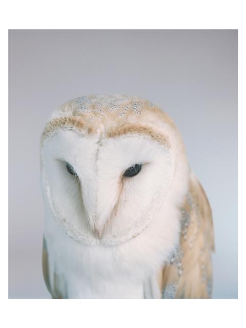, 'Barn Owl,' 2014, Francesca Maffeo Gallery