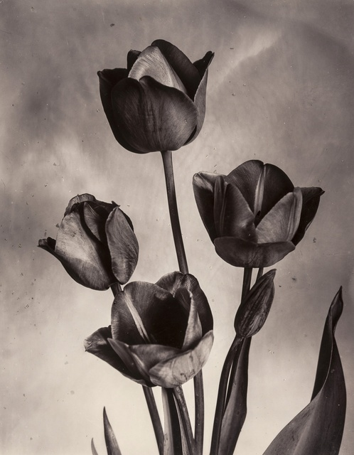 Charles Jones, 'Darwin Tulips', ca.1905, Photography, Gold-toned gelatin silver printing-out paper print, Forum Auctions