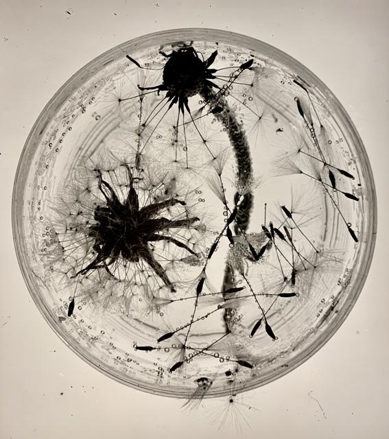 , 'Dandelions, Dessau,' 1931, Jorge Mara - La Ruche