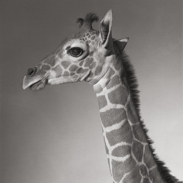 "Michael O'Neill, 'Reticulated Giraffe, ""Cinco""', 1991, Etherton Gallery"
