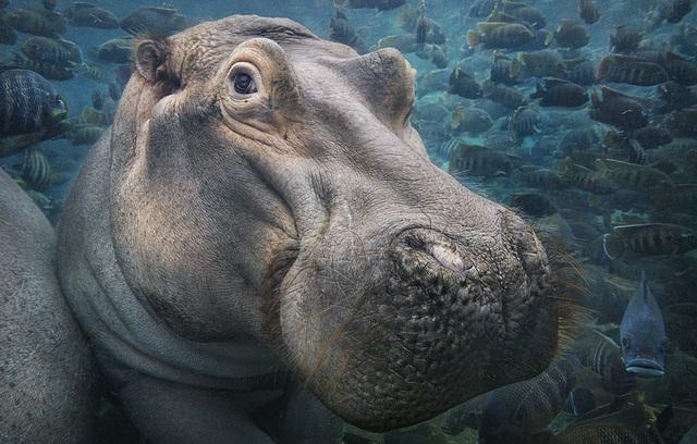 , 'Hippo Underwater,' 2017, Osborne Samuel