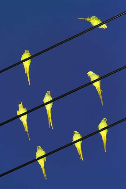 , 'Tokyo Parrots, 023,' 2013, Brownie Project