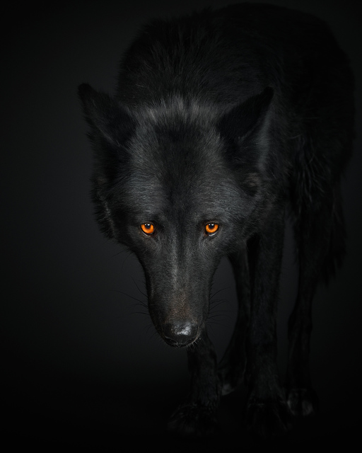 , 'Black Wolf no 1,' , Davis Gallery & Framing
