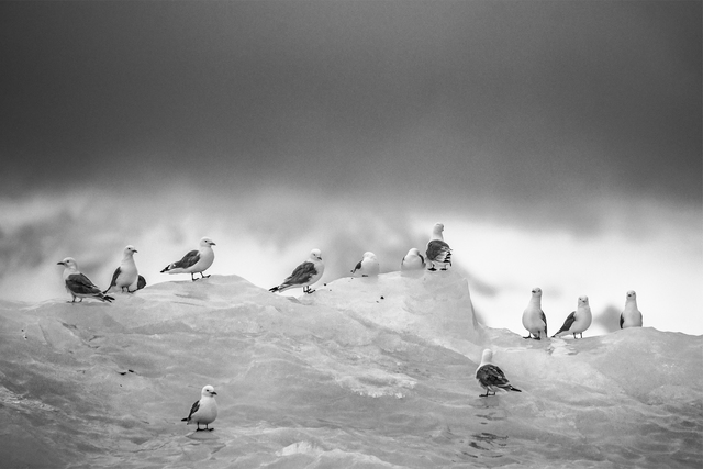 , 'Feathered Friends ,' , Paul Nicklen Gallery