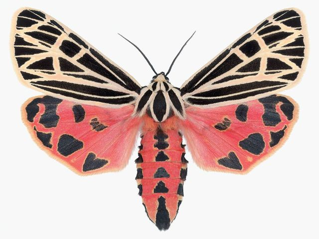 , 'Grammia Virgo Female,' , ArtStar
