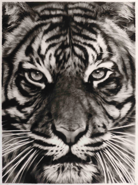 , 'Study for Tiger,' 2013, William Shearburn Gallery