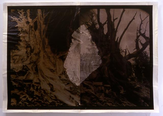 Meridel Rubenstein, 'Millenial Forest', 2000, Brian Gross Fine Art