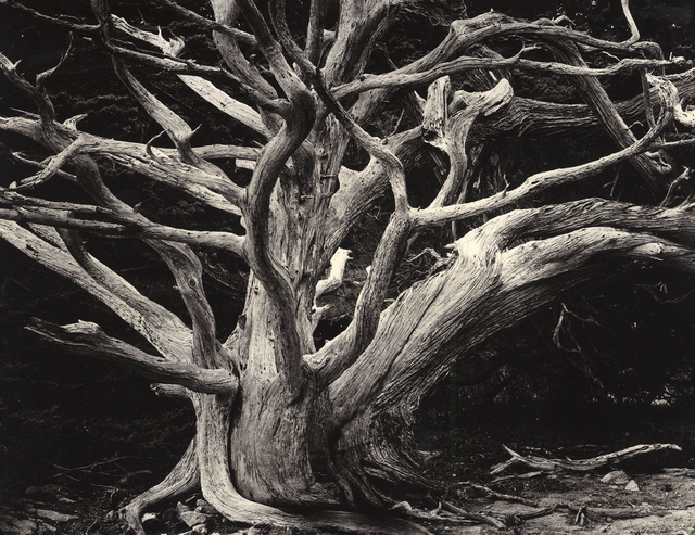 , 'Cypress, Point Lobos,' 1989, Photography West Gallery
