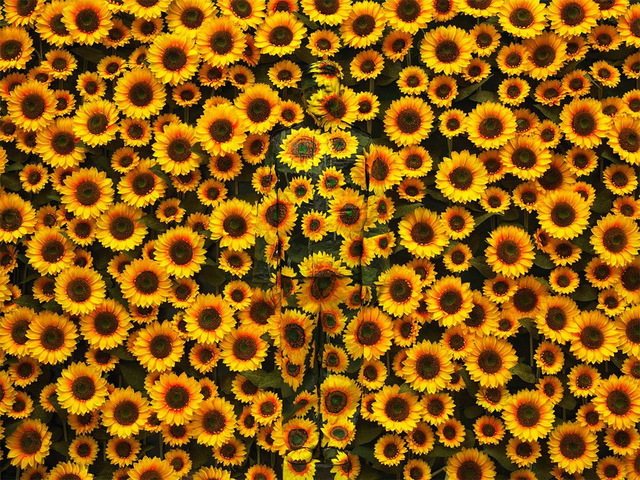 , 'Hiding in the City — Sunflower,' 2012, Jackson Fine Art