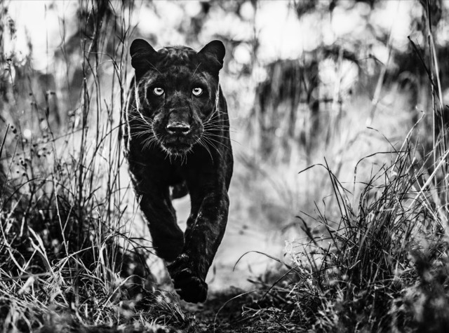 David Yarrow, 'The Black Panther Returns', 2019, Isabella Garrucho Fine Art