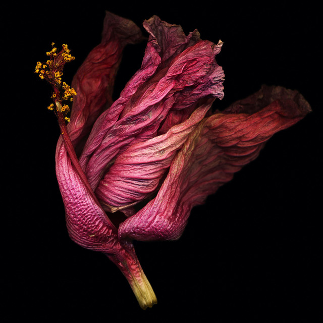 , 'Hibiscus #1,' , Fabrik Projects Gallery