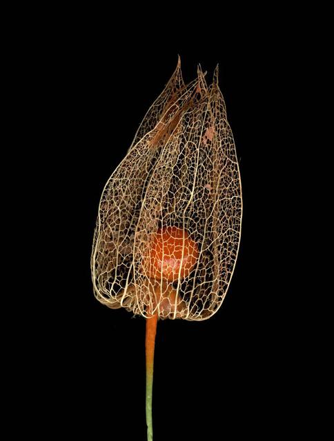 , 'Untitled (Lampi - Physalis alkekengi) from FLOWERS,' 2009, Mai 36 Galerie