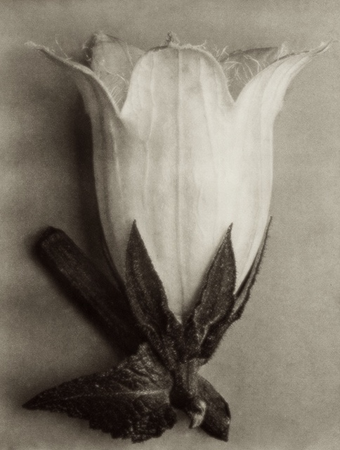 , 'Plate 111 - Campanula alliarifolia, Spurred bellflower ,' , photo-eye Gallery