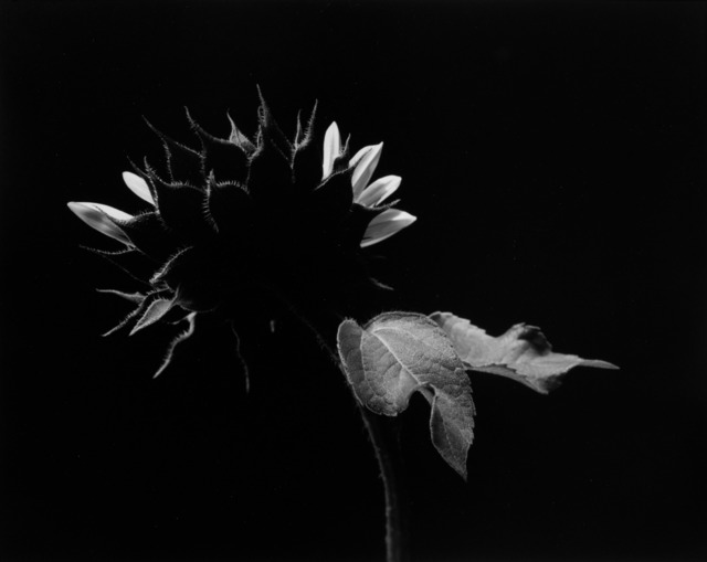 , 'Sunflower, two trailing leaves,' 1965, Vision Neil Folberg Gallery