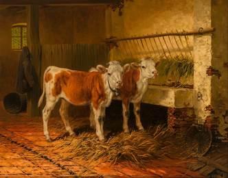 Calves in a Barn