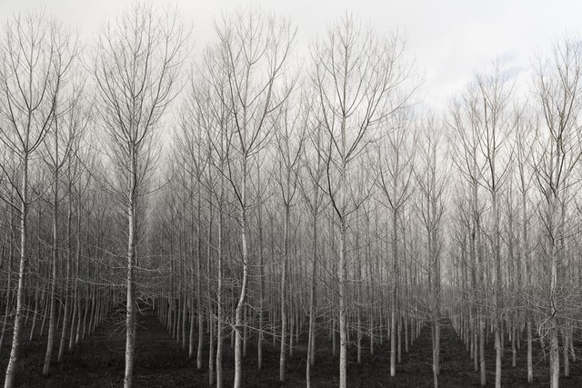 , 'Trees in Rows,' 2015, Carrie Haddad Gallery