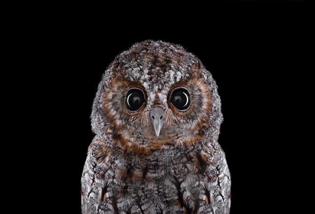 Brad Wilson, 'Flammulated Owl #1, Espanola, NM ', 2011, photo-eye Gallery