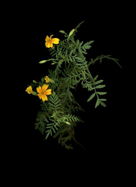 , 'Gewürztagetes (Tagetets tenuifolia),' 2018, Galerie Judith Andreae