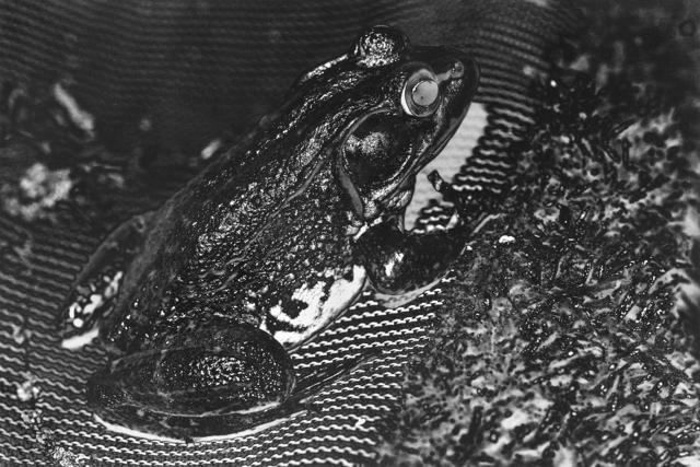 , 'Frog #14,' 2014, HARPY