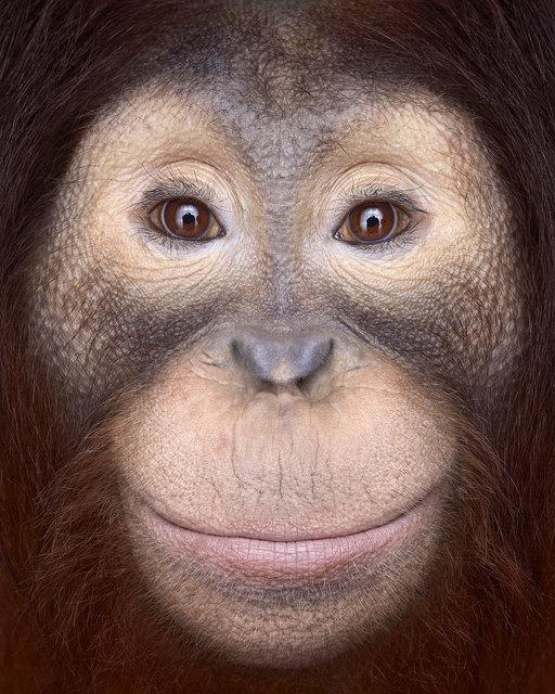 , 'Orangutan #1, Los Angeles, CA, 2011 (Affinity series),' 2011, Artistics