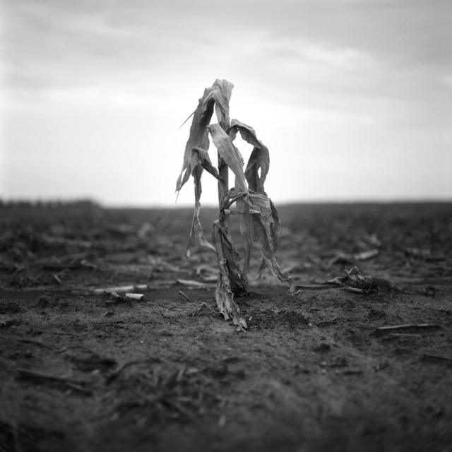 , 'Corn Stalk, Bo Bo, Mississippi,' 2012, Pictura Gallery