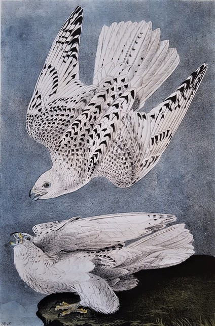 John James Audubon, 'Iceland or Gyr Falcon', 1840-1844, Graves International Art