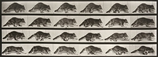 , 'Animal Locomotion: Plate 744 (Raccoon Walking),' 1887, Huxley-Parlour