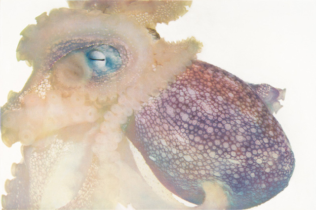 , 'Day Octopus,' 2008, Crown Point Press