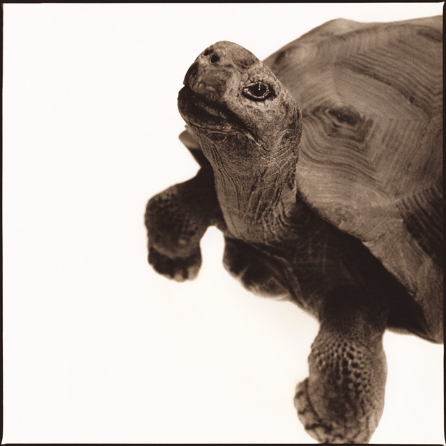 Nine Francois, 'Tortoise I', Weston Gallery