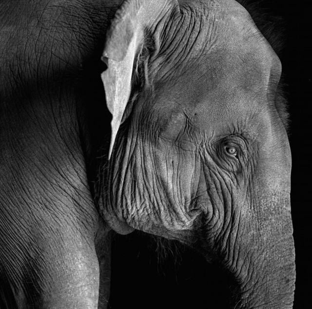 , 'A young elephant,' 1993, Tasveer