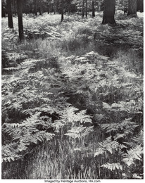 Ferns, Valley Floor, Yosemite National Park