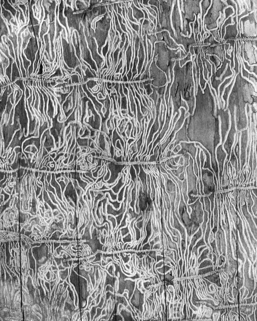 , 'Bark Beetle I, Scolytus Multistriatus,' 2016, Benrubi Gallery
