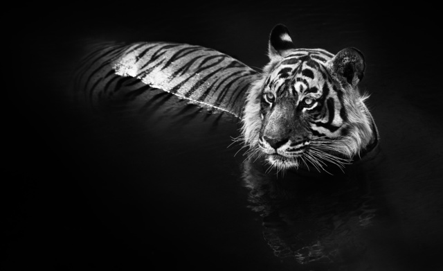 David Yarrow, 'The Killer', 2013, Isabella Garrucho Fine Art
