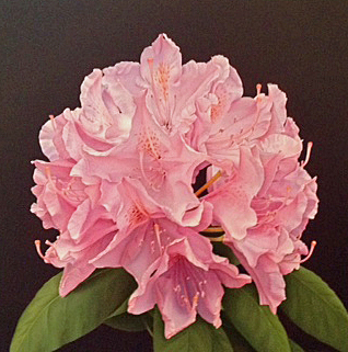 Donald Peeler, 'Pink Rhododendron', 2013, Shain Gallery