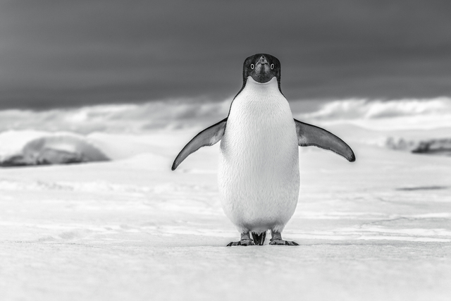 , 'Curious Penguin,' , Paul Nicklen Gallery