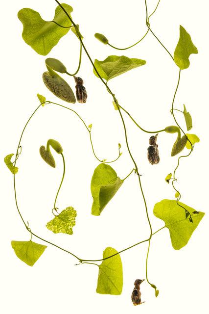 , 'Aristolochia,' 2016, Galerie Michael Hasenclever