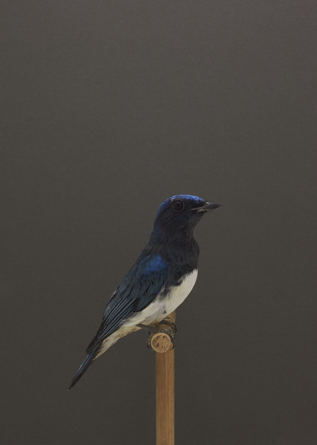 , 'Blue and White Flycatcher #1,' ca. 2016, The Photographers' Gallery