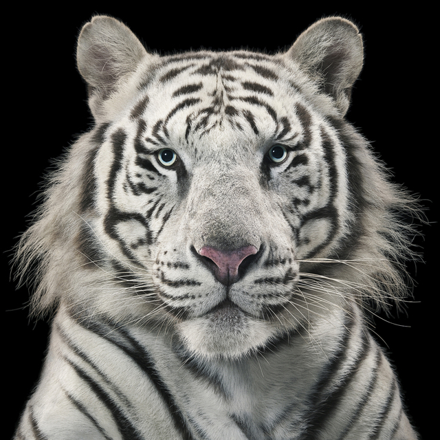 , 'Royal White Tiger,' , Opiom Gallery