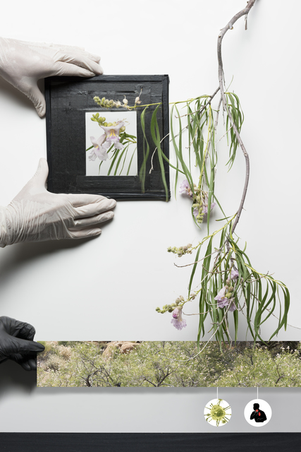 , 'Chilopsis Linearis,' 2017, Joshua Tree Art Gallery