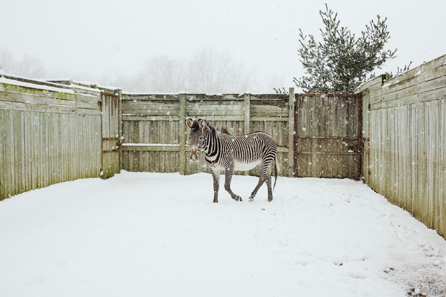 , 'Elvis the Zebra, Cumberland, Ohio,' 2008, HATHAWAY | Contemporary Gallery