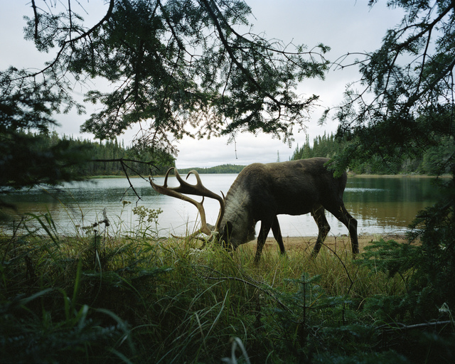 , 'Woodland Caribou 2, Slate Islands,' 2011, Circuit Gallery
