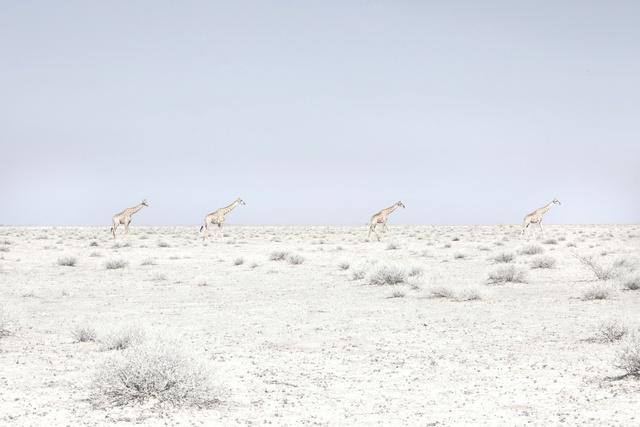 , 'Four Giraffes, Namibia,' 2015, Robert Mann Gallery