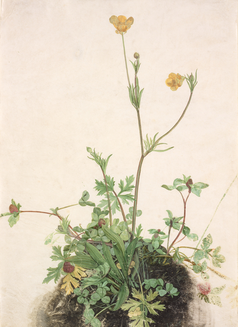 'Buttercups, Red Clover, and Plantain', 1526, RISD Museum
