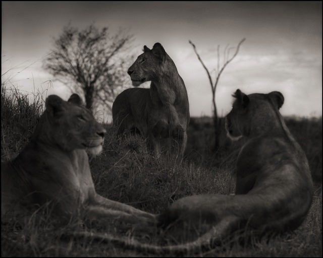 , 'Lion Circle, Serengeti, 2012,' 2012, photo-eye Gallery