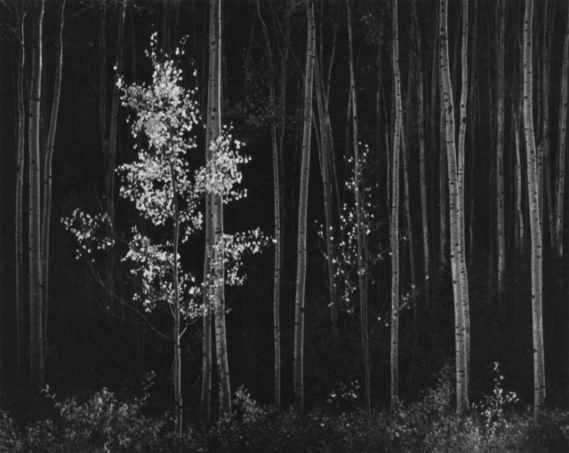 , 'Aspens, Northern New Mexico,' 1958, Robert Mann Gallery